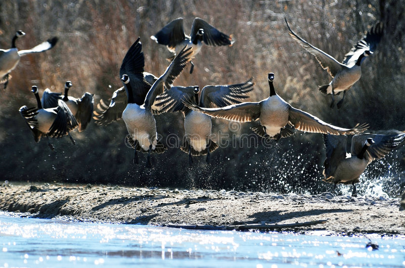 Wild Canadian geese. Taking flight from riverbank stock image