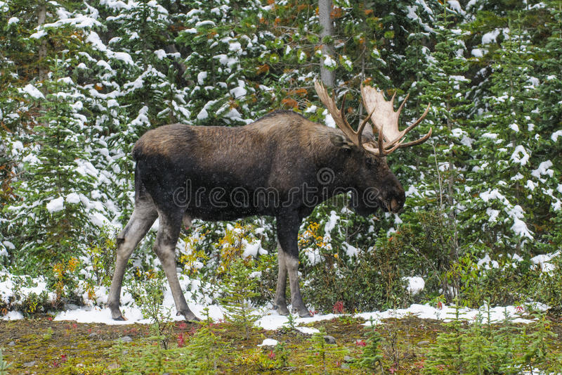 Wild Canadian Moose (Alces alces) royalty free stock image