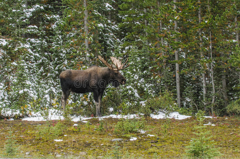Wild Canadian Moose (Alces alces). Wild Canadian Bull Moose with Antlers on a parkway roadside in the Snow in Autumn stock photos