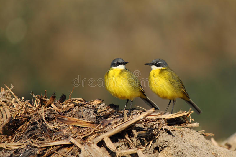 Download Wild canary stock photo. Image of captivity, biology - 27310082