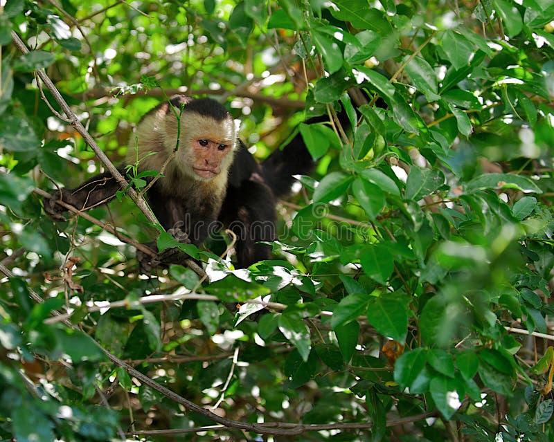 Wild capuchin monkey in Costa Rica stock photo