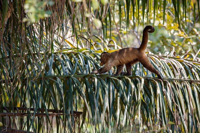 Wild capucin monkey close up in the nature habitat. Wild brasil, brasilian wildlife, pantanal, green jungle, south american nature and wild stock photos