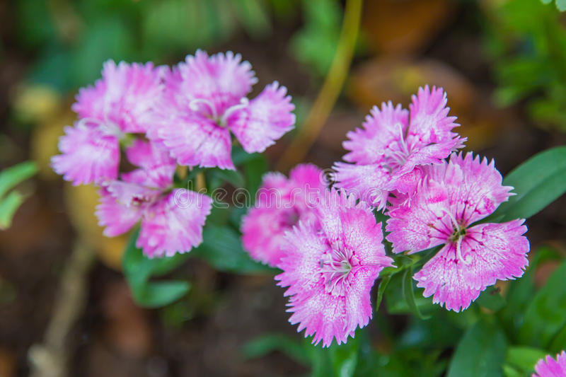 Wild carnation pink flowers. stock photography