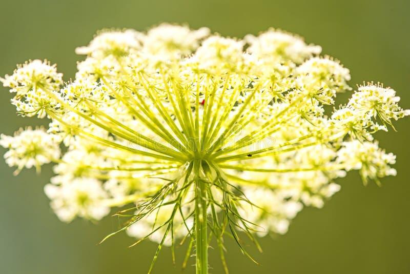 Wild carrot flower of the wildflower. Wild carrot, flower of the wildflower in bright sunny lighting stock photos