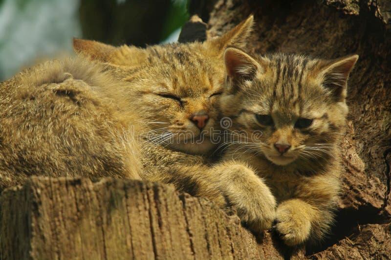 Download Wild cat stock photo. Image of face, coat, pelt, leopard - 20561466
