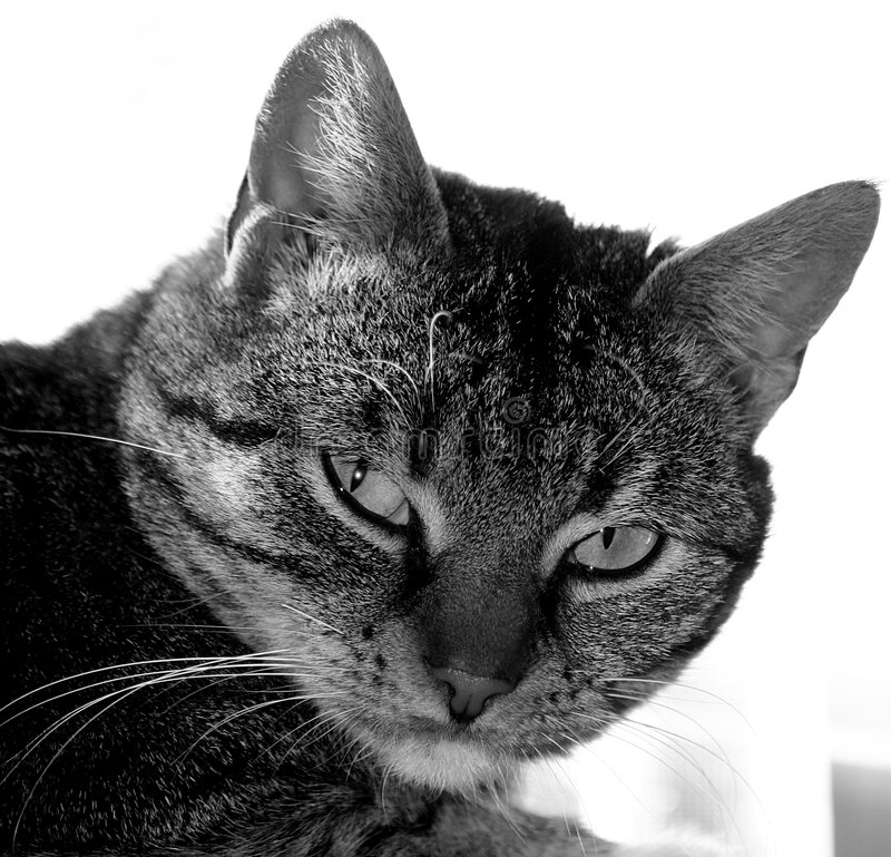 Download Wild cat stock photo. Image of grey, close, black, animal - 882876