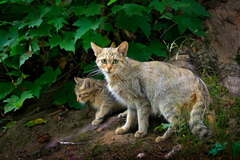 Wild Cat with cub, Felis silvestris, animal in the nature tree forest habitat, hidden in the tree trunk, Central Europe. Wildlife royalty free stock image