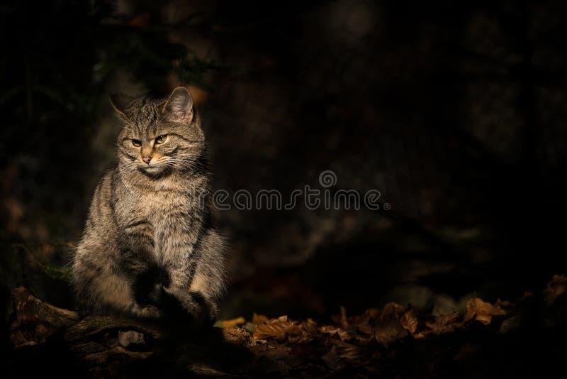 Wild cat in a dark forest. Sitting wild cat in a dark forest sitting in a sun beam spotlight stock images