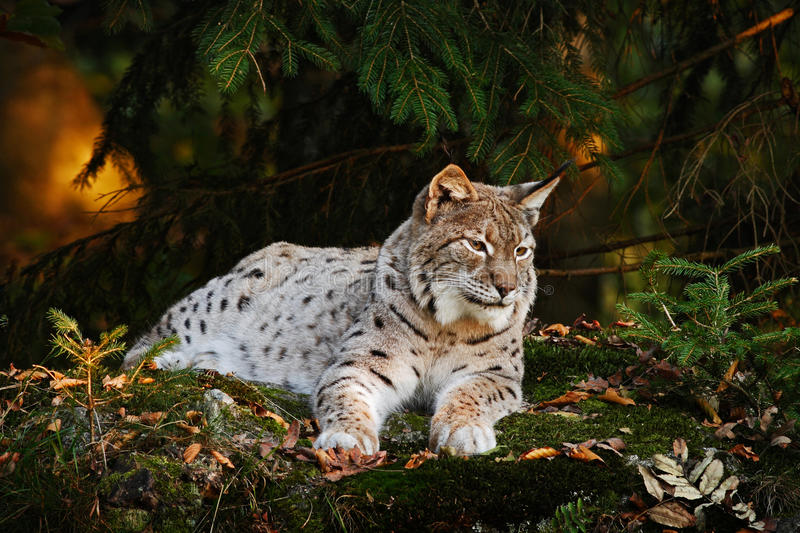 Wild cat in the forest. Lynx in the nature forest habitat. Eurasian Lynx in the forest, birch and pine forest. Lynx lying on the royalty free stock photography