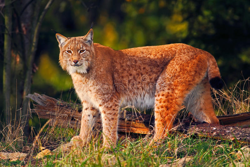 Wild cat in the forest. Lynx in the nature forest habitat. Eurasian Lynx in the forest, birch and pine forest. Lynx standing on th stock photo
