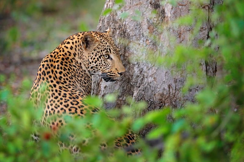 Wild cat hidden portrait in the nice forest tree vegetation. Big leopard in the nature habitat. African Leopard, Panthera pardus stock photos