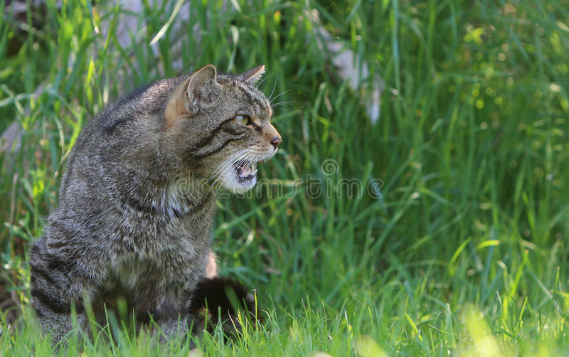 Wild cat hissing. The rare and critically endangered Scottish Wildcat growling and hissing royalty free stock photography