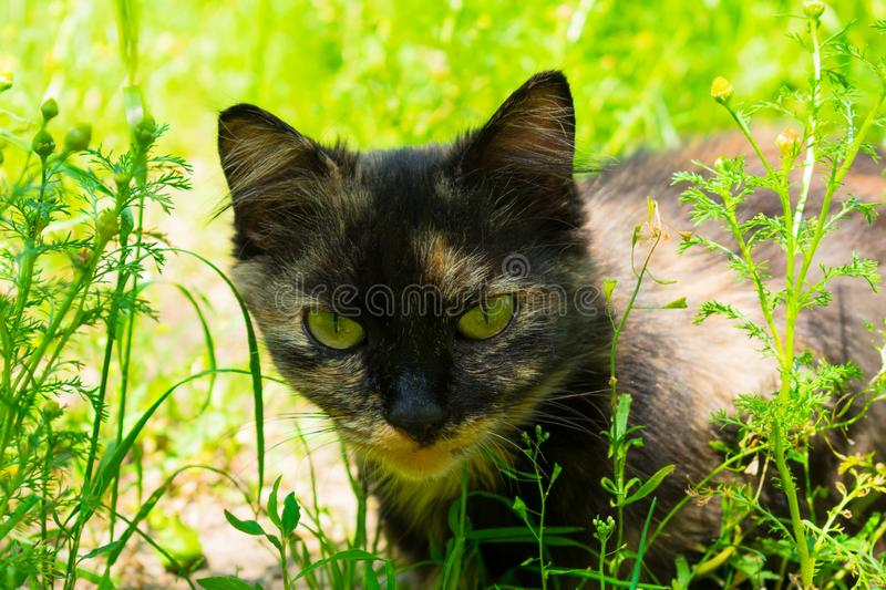 Cat hunts in the green grass. Wild cat hunts in the green grass stock photos
