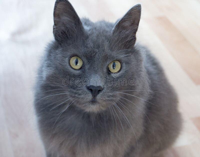 Wild cat Kuril Bobtail stock photo