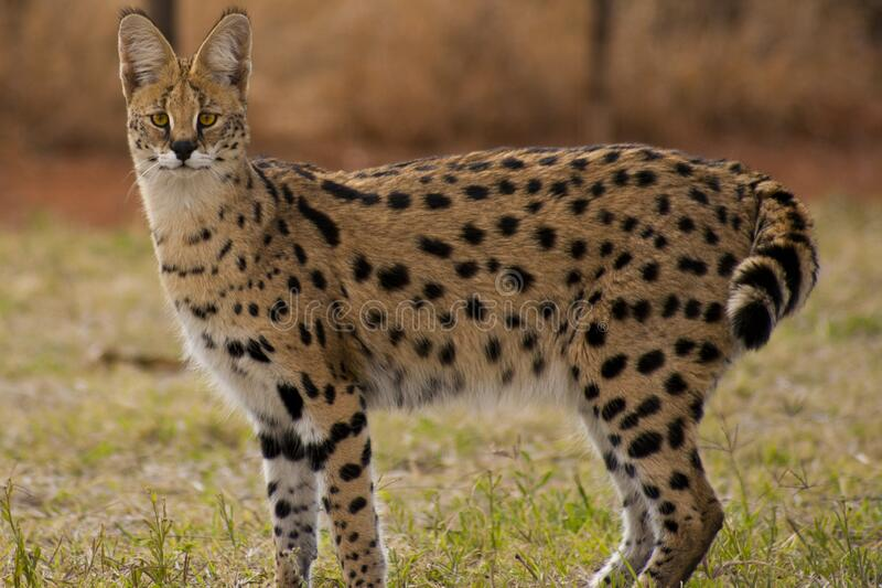 Wild cat with spots stock photo