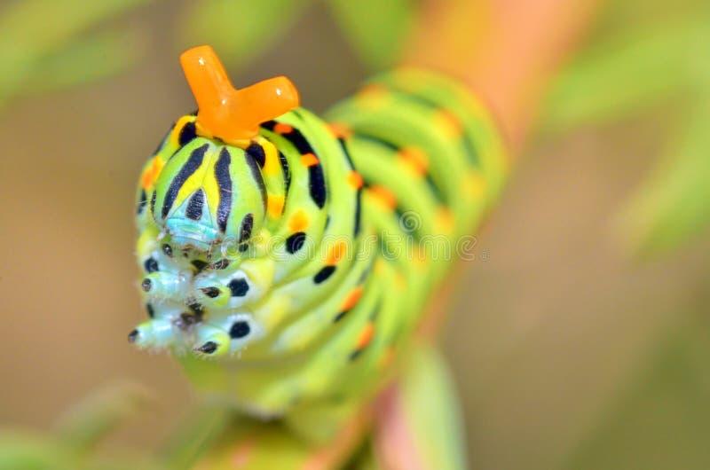 Wild caterpillar of Papilio Macaone stock image