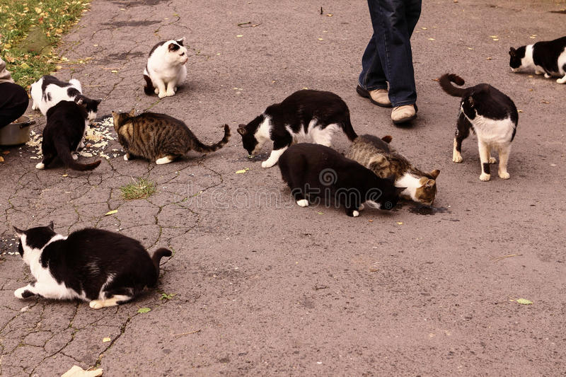 Wild cats. People give nourishment to the hungry wild cats royalty free stock image