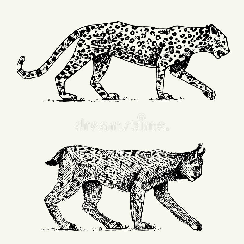 Wild cats set, leopard and Lynx engraved hand drawn in old sketch style, vintage animals stock illustration