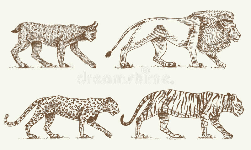 Wild cats set, Lynx lion leopard and tiger engraved hand drawn in old sketch style, vintage animals vector illustration
