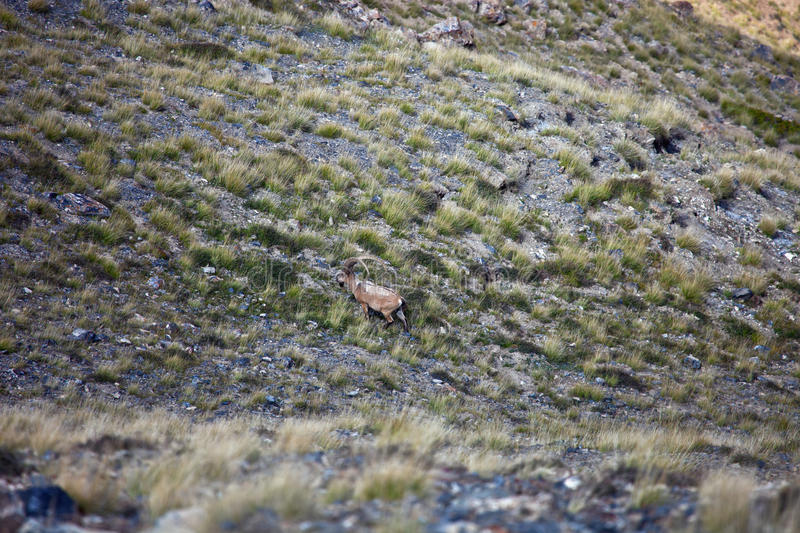 Wild Central-Asian ibex grazing in the Tien Shan mountains, stock photo
