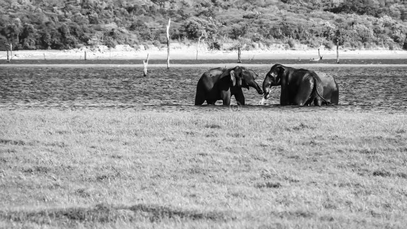 Wild Ceylon stock foto