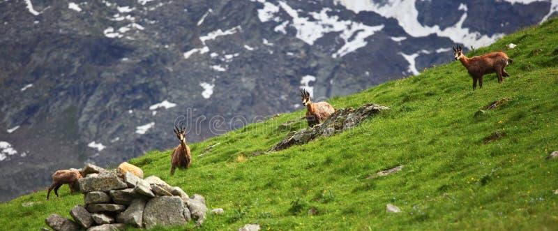 Wild Chamois On Alps Stock Photo