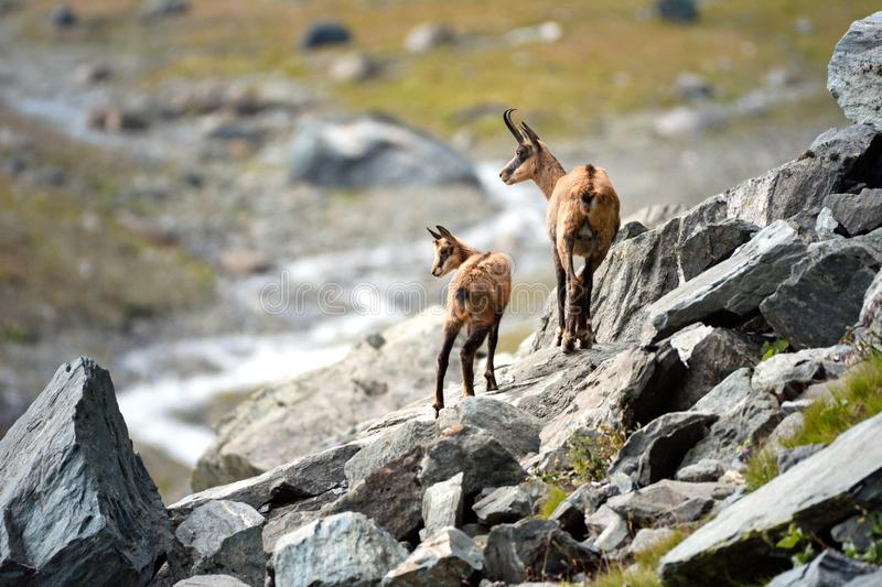 Alpine chamois mother and puppy. Gran Paradiso National Park, Italy. Wild chamois Rupicapra in the italian Alps. Gran Paradiso National Park, Italy stock images