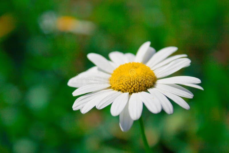 Download Wild chamomile stock image. Image of flower, chamomile - 5445449