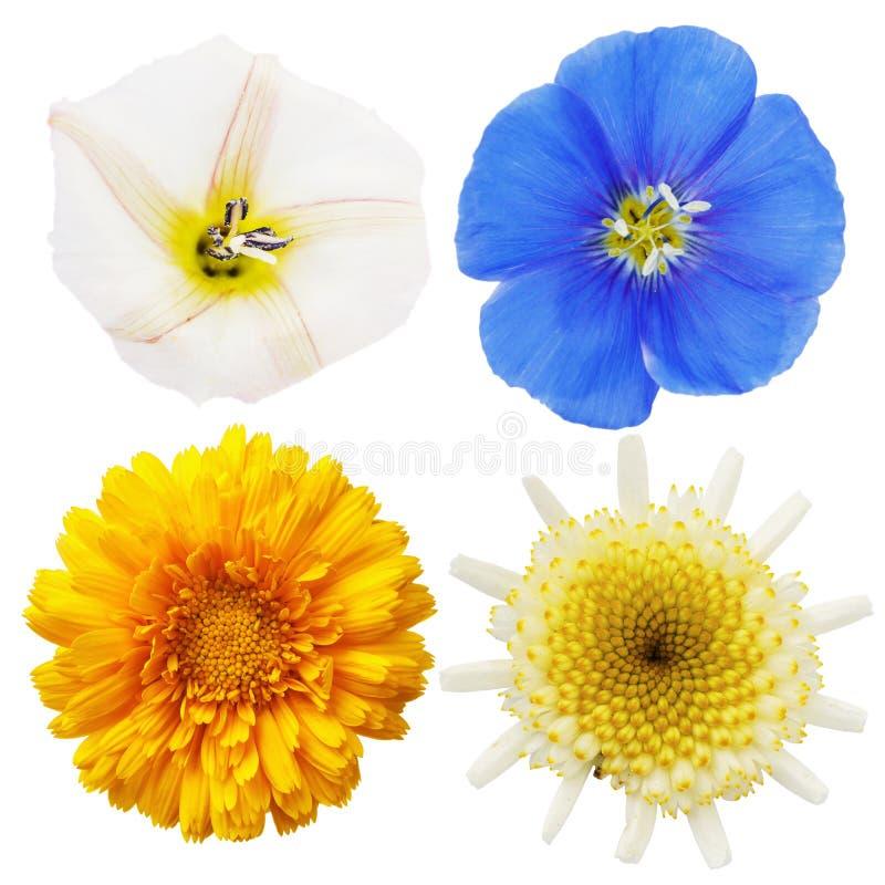 Wild chamomile, calendula, flax and field bindweed flowers isolated stock image