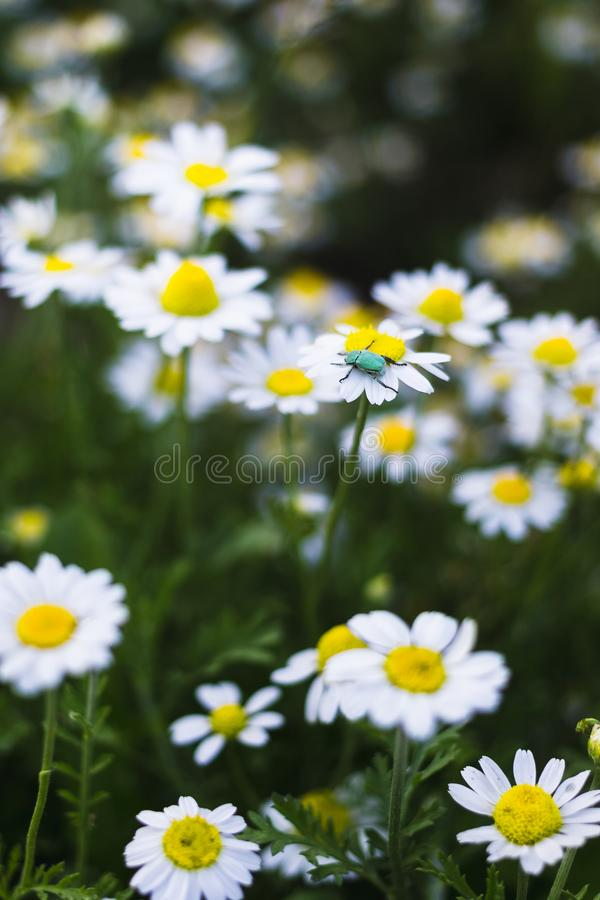 Wild chamomile flowers on a field. Beautiful bokeh background.  stock images