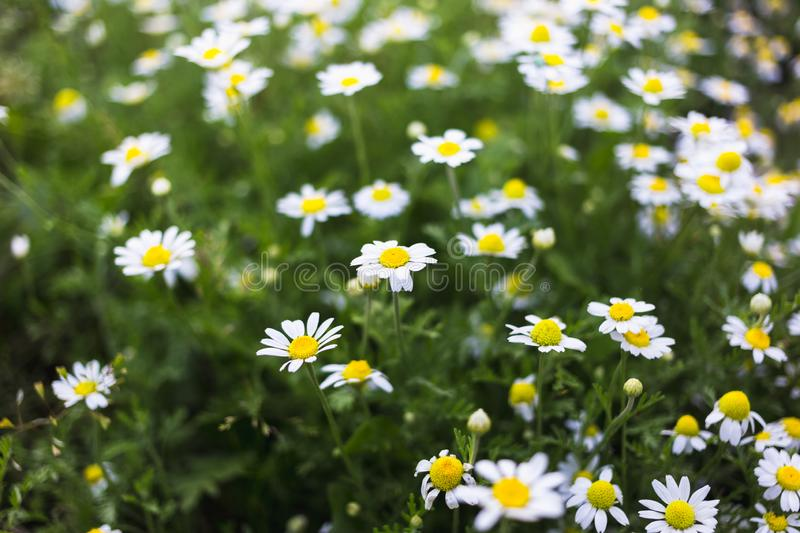Wild chamomile flowers on a field. Beautiful bokeh background.  stock photography