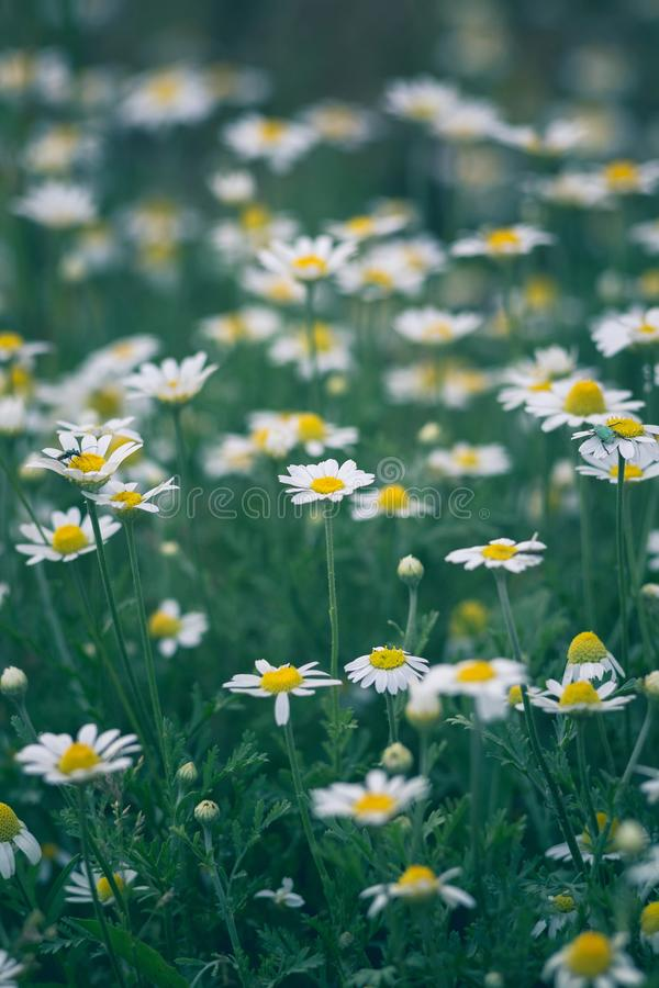 Wild chamomile flowers on a field. Beautiful bokeh background.  royalty free stock photo