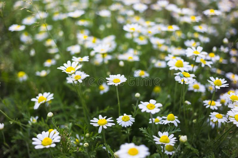 Wild chamomile flowers on a field. Beautiful bokeh background.  stock image