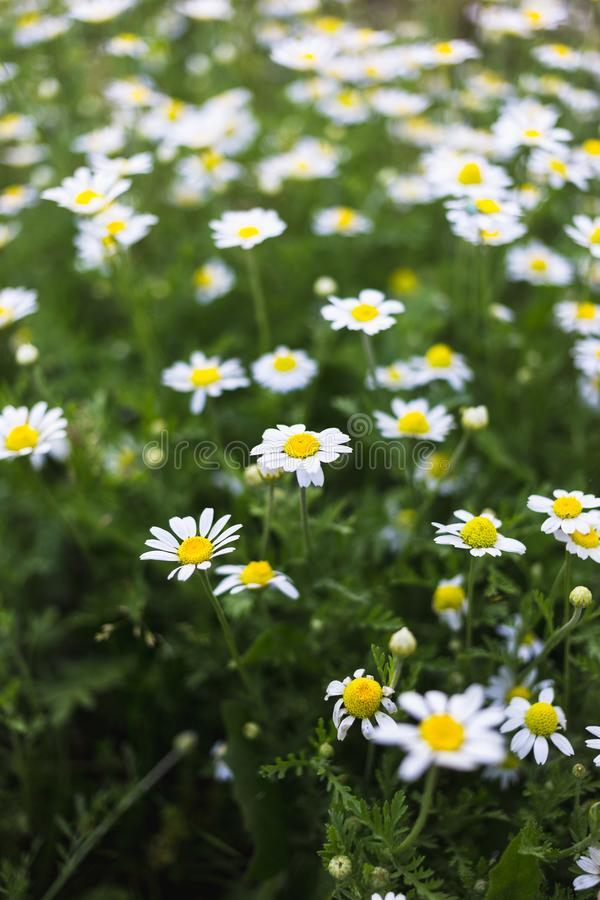 Wild chamomile flowers on a field. Beautiful bokeh background.  royalty free stock photos