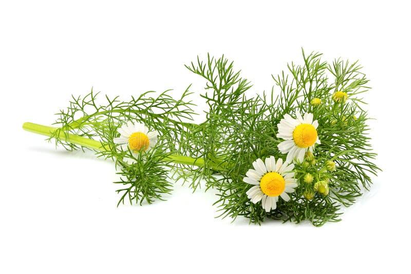 Wild chamomile, Matricaria isolated. Wild chamomile, Matricaria isolated on white background royalty free stock images