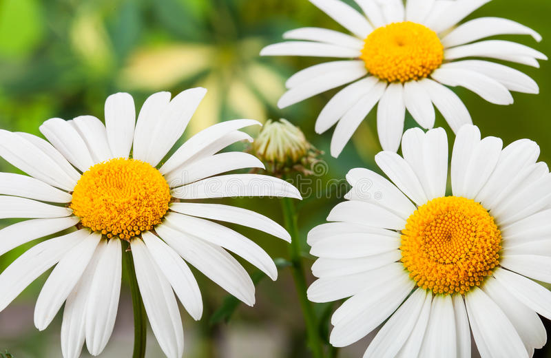Download Wild chamomile stock photo. Image of backgrounds, chamomiles - 31369930