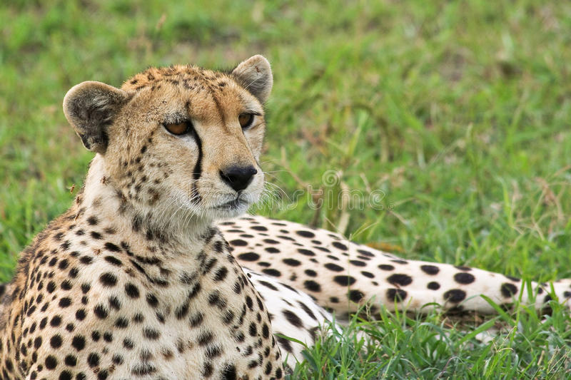 Wild Cheetah Portrait stock photos