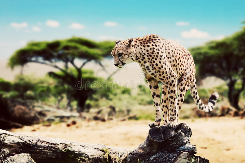 A wild cheetah about to attack. Safari in Tanzania stock images