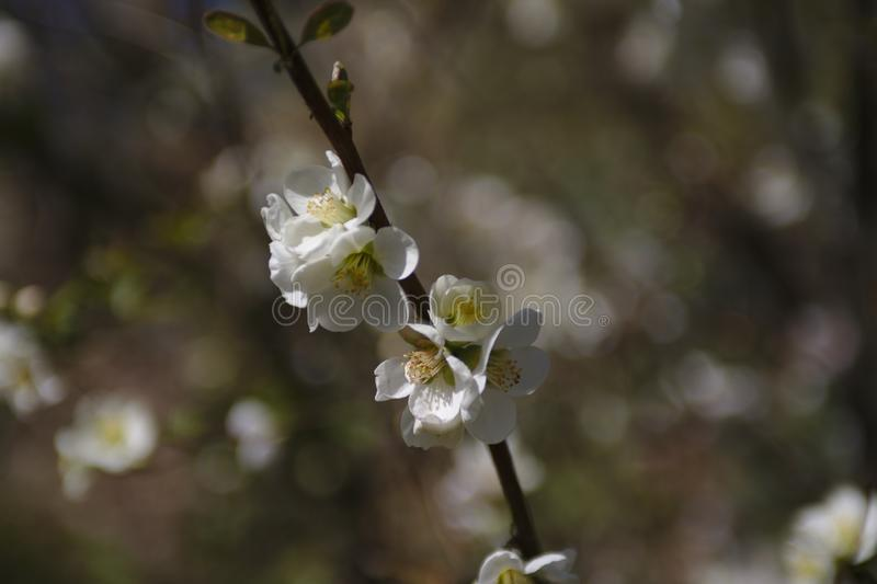 A wild cherry blossoms tree in spring royalty free stock image
