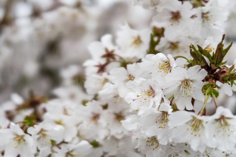 Wild cherry blossoms on a tree royalty free stock images