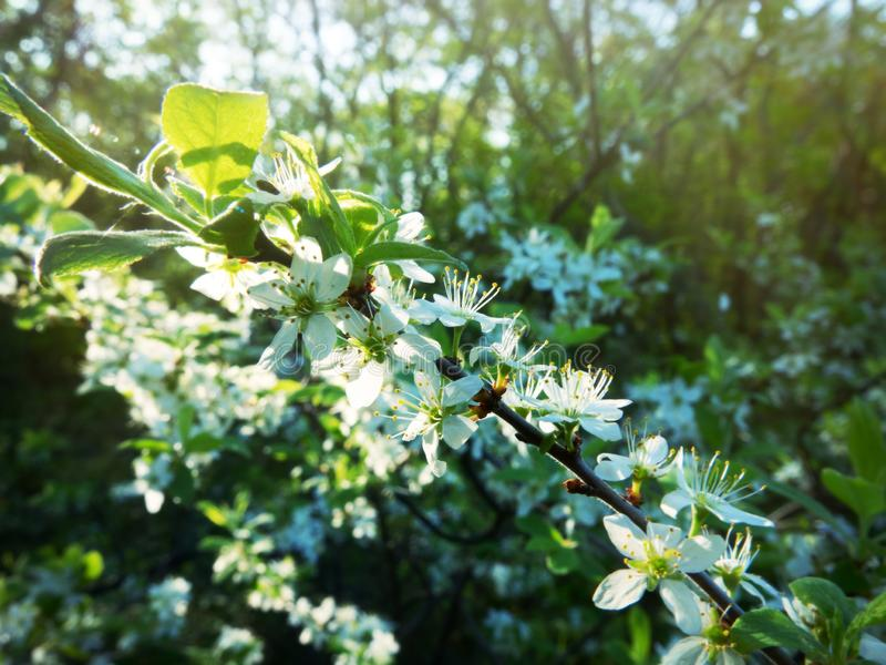 Wild cherry from the forest-steppe royalty free stock photography