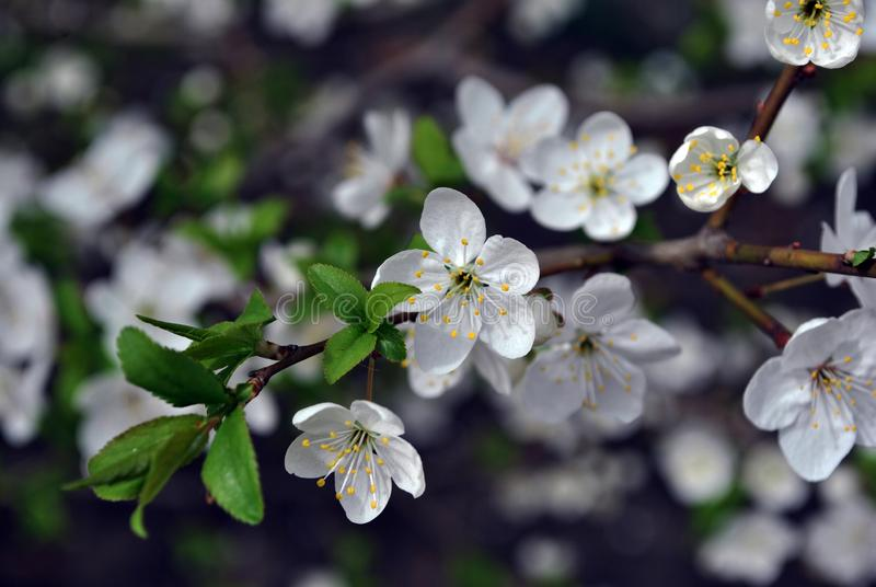 Wild cherry tree blossoming twigs with green leaves on dark blurry background royalty free stock images