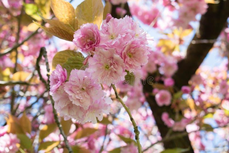 Wild cherry tree pink blossom at spring in Paris, sakura flowers closeup royalty free stock images