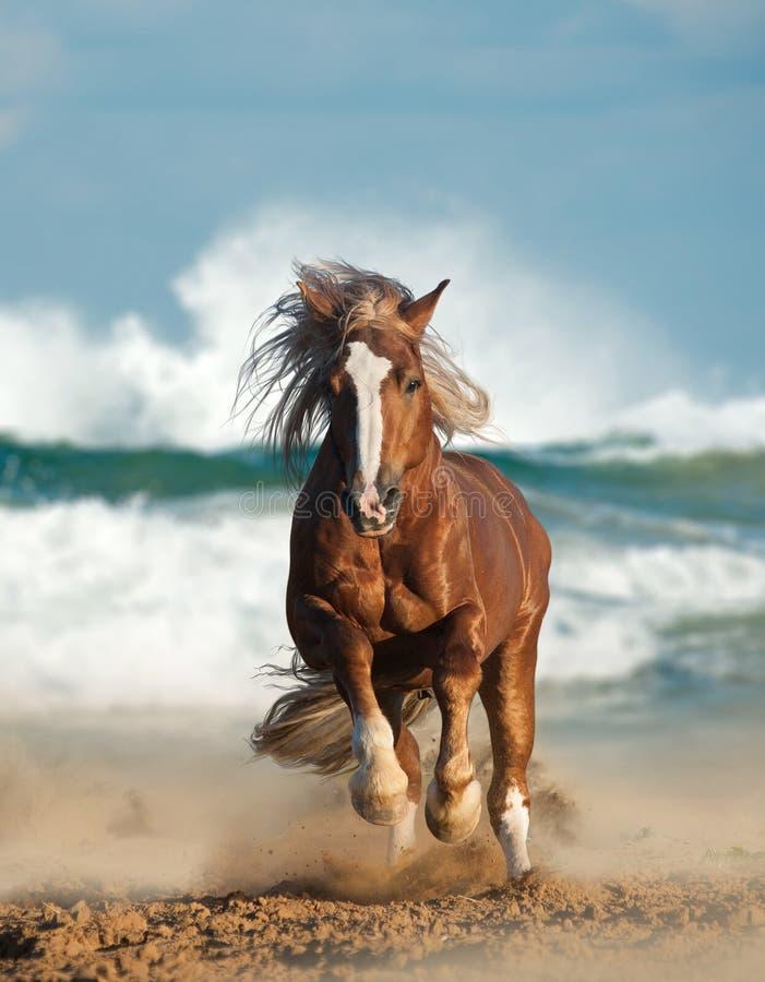 Wild chesnut stallion stock photography