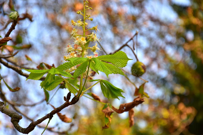 Wild chestnut branch with leaves, fruit and flowers royalty free stock image
