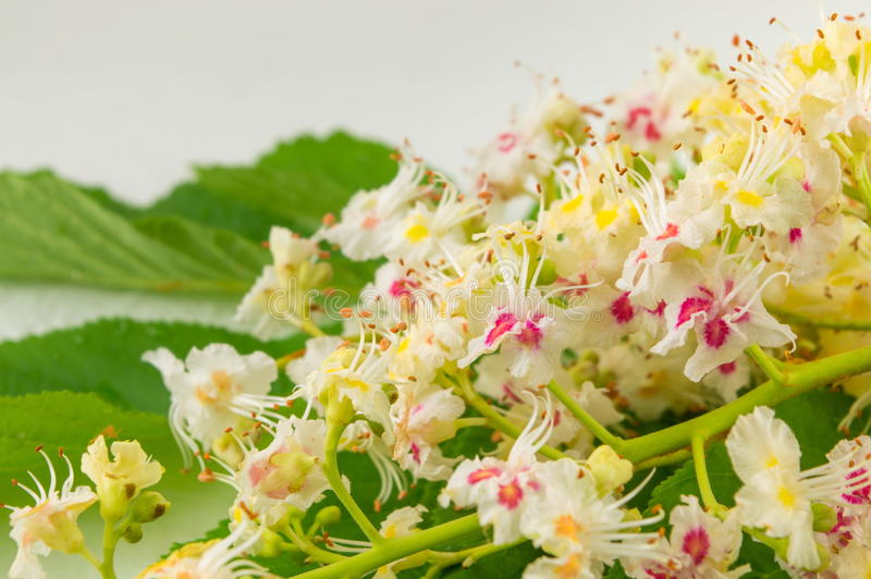Wild chestnut flowers in bloom stock image