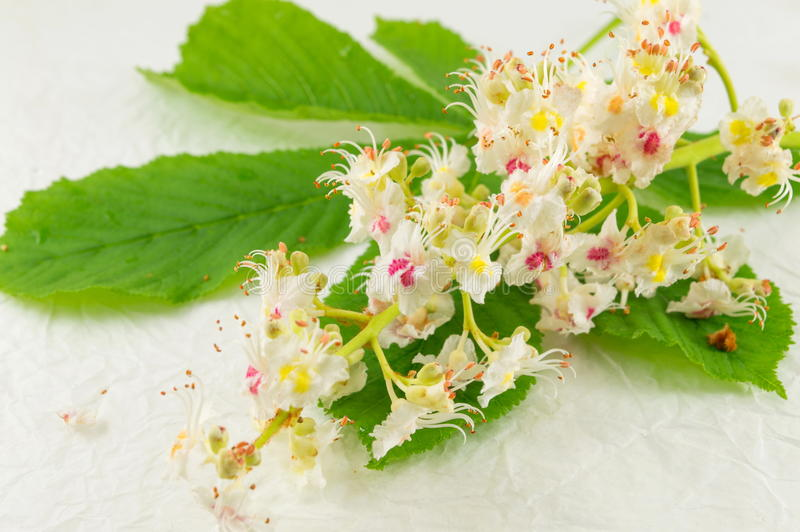Wild chestnut flowers in bloom royalty free stock photos