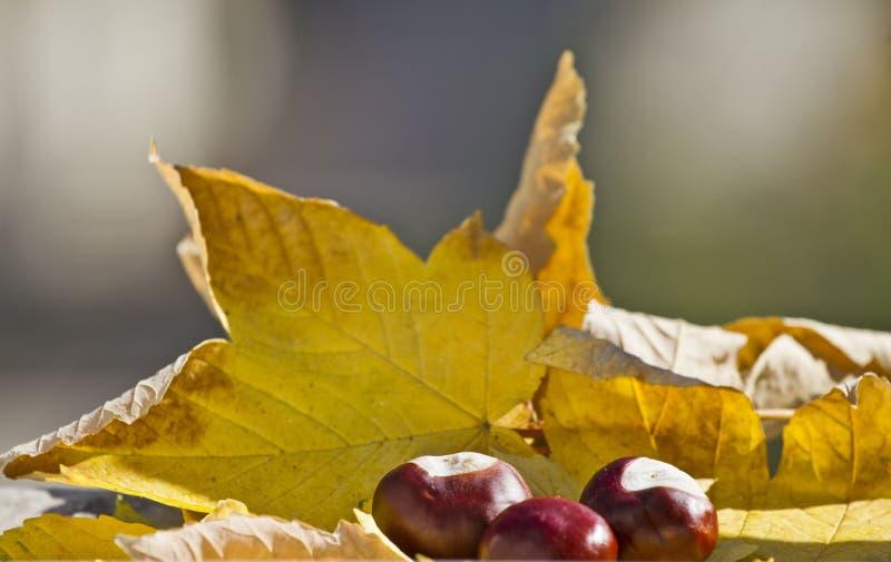 Wild chestnuts with autumn leaves in autumn motives. Horse chestnuts in autumn foliage scene. Golden autumn in still life. Season stock images