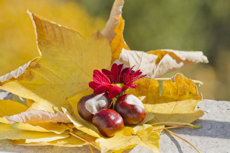 Wild chestnuts with autumn leaves and red chrysanthemum. Horse chestnuts in autumn foliage scene with red chrysanths flower stock photo