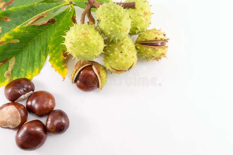 Wild chestnuts on a white background stock photo